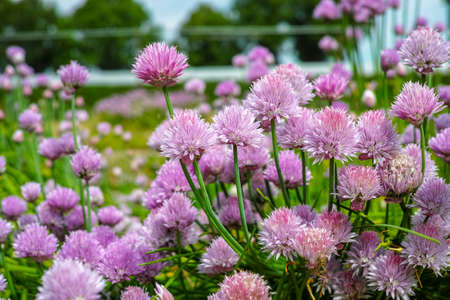 Summer blossom of chives allium plant in garden