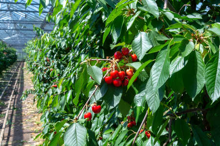 Organic sweet cherry ripening on cherry tree close up, sunny day in Dutch greenhouse