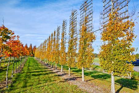 Big espaliered decorative alder trees growing on nursery plantation in Netherlands Reklamní fotografie