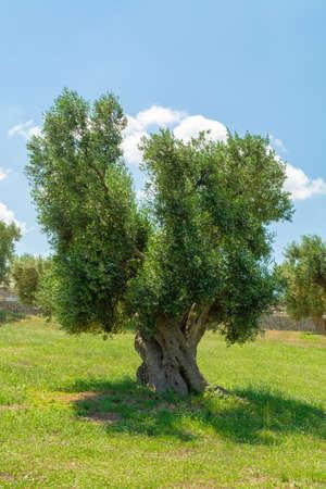 Très vieux oliviers dans les Pouilles, Italie, célèbre centre de production d'huile d'olive extra vierge