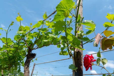 Vineyard in Netherlands, production of tasty white and rose wine