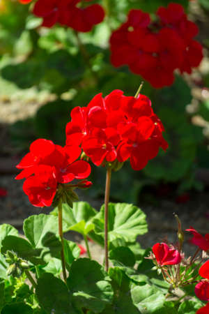 Red geranium flowers in sunny garden close up