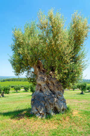 Vineyards and very old olive trees in Apulia, Italy, famous center of wine and extra virgine olive oil production Stockfoto