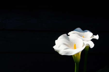 Weiße Callalilienpflanze mit Blumen auf schwarzem Hintergrund, dunkles Schlüsselkonzept