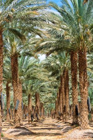 Plantation de Phoenix dactylifera, communément appelé datte ou palmier dattier dans le désert d'Arava et du Néguev, Israël, culture de délicieux fruits de datte Medjool Banque d'images