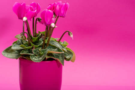 One small pink cyclamen plant with flowers in pink pot on trendy pink background close up copy space, minimal colors concept