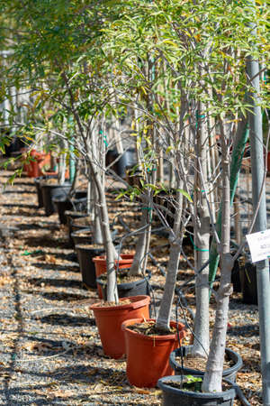 Rows of young exotic baobab trees in buckets on sale in garden shop, tropical decovative plant for gardens and parks