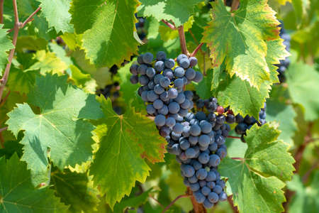 Red wine grapes plant, new harvest of black wine grape close up