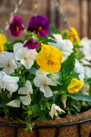 Garden decoration, colorful pansies flowers in a coconut hanging pot close up