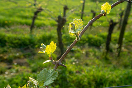 Young shoots of grape plant in vineyard, spring season on winery Stok Fotoğraf - 114862708
