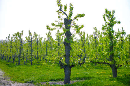White pear tree blossom, spring season in fruit orchards in Haspengouw agricultural region in Belgium, landscape Imagens