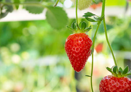 Harvesting of fresh ripe big red strawberry fruit in Dutch greenhouse