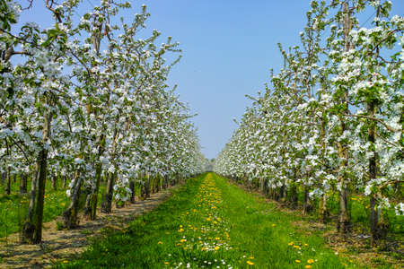 White apple tree blossom, spring season in fruit orchards in Haspengouw agricultural region in Belgium, landscape
