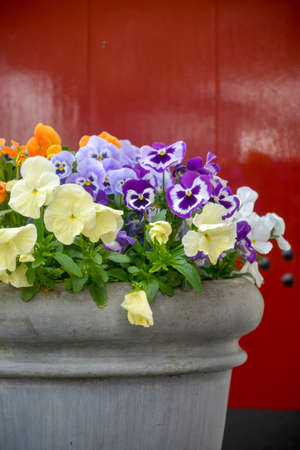 Bucket with colorful viola flowers, spring season in Netherlands, garden decoration close up Stock Photo