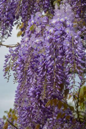 Spring blossom of purple wisteria plant close up