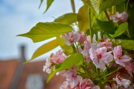 Spring blossom, pink cherry flowers and your leaves on cherry tree close up
