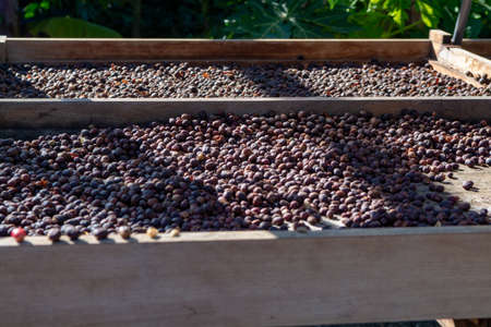 Traditional method of drying mature organic coffee beans on  open grid outside in sun lights, bio coffee farm