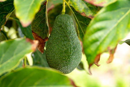 Tropical avocado tree with ripe green avocado fruits growing on plantation on Gran Canaria island, Spain, ready for seasonal harvest Stock Photo
