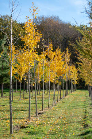 Medicinal Ginkgo biloba tree nursery in Netherlands, specialise in medium to very large sized trees,  autumn season
