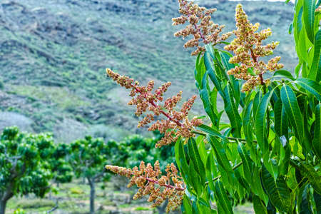 Seasonal blossom of tropical mango tree growing in orchard on Gran Canaria island, Spain, cultivation of mango fruits on plantation. Close up. Stock Photo