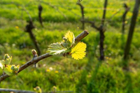 Giovani germogli di uva in vigna, stagione primaverile in cantina on Archivio Fotografico