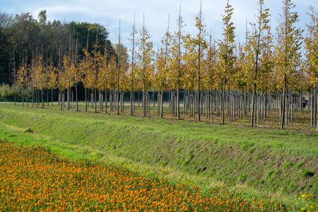 Plantation of trees on tree nursery in Netherlands, specialise in medium to very large sized trees and colorful flowerbed with tagetes flowers in autumn