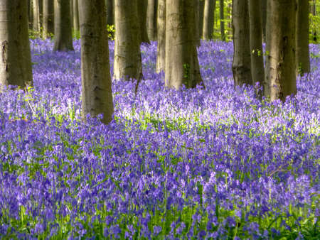 Seasonal purple-blue carpet of flowering bluebells wild hyacinths in spring forest, nature landscape Stock Photo