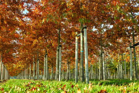 Garden and park tree nurseries specialise in medium to very large sized trees, white american oak tree plantation in Netherlands