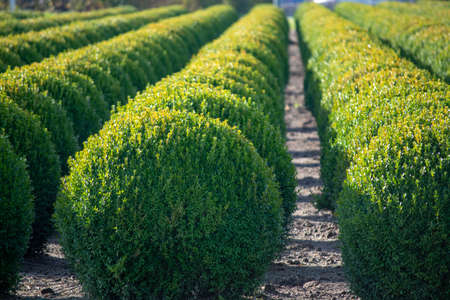 Evergreen buxus or box wood nursery in Netherlands, plantation of healthy big round box tree balls in rows during invasion of box wood moth in Europe 版權商用圖片