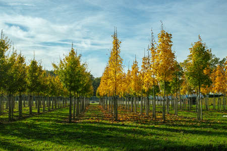 Privat garden, parks tree nursery in Netherlands, specialise in medium to very large sized trees, plantation of grey alder trees in rows Banque d'images - 118652863