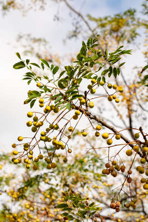 Melia azedarach or chinaberry tree, Pride of India, bead-tree, Cape lilac, Persian or Indian lilac tree close up