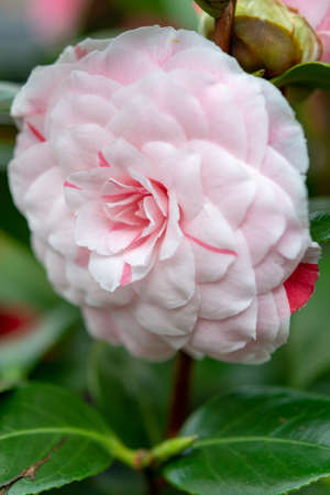 Big flowers of Camellia shrub or tree, flowering plant, close up