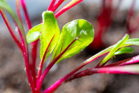 Garden seedlings in spring season, young sprouts of red beetroot  vegetable plant, garden works.