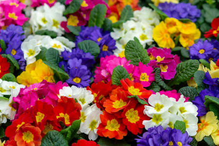 Floral background, spring seasonal colofrul garden primula flowers close up