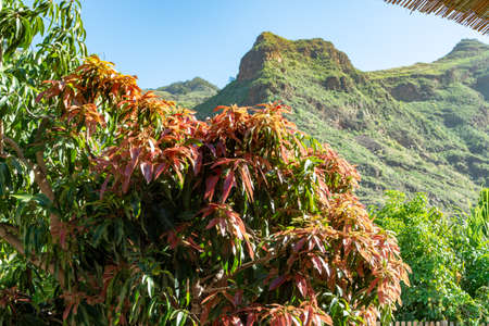 Tropical mango tree after harvesting growing in orchard on Gran Canaria island, Spain, cultivation of mango fruits on plantation. Stock Photo