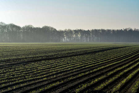 Morning spring landscape with newly plowed field with young corn sprounts, farmland in  Netherlands in Europe