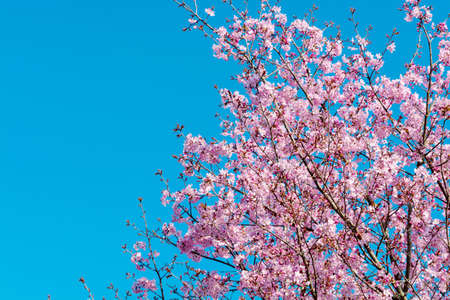 Spring blossom of Japanese pink rose sakura tree, floral background with blue sky copy space