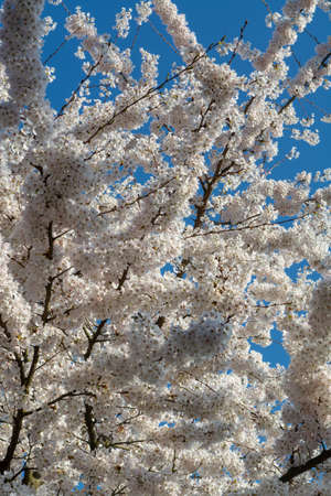 Spring blossom of Japanese white sakura tree, floral background with blue sky Stock Photo