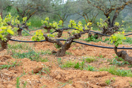 Old trunks and young green shoots of wine grape plants in rows in vineyard in spring, wine production in Greece Reklamní fotografie