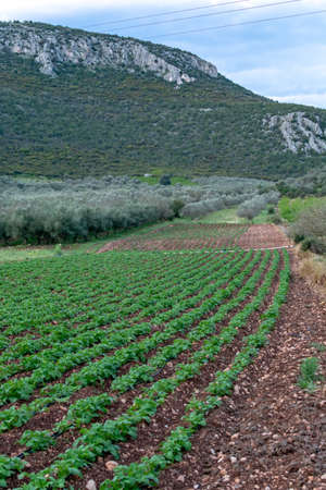 Farm field with rows of young of potato plants growing outside under greek sun in mountains, agriculture in Greece. 免版税图像