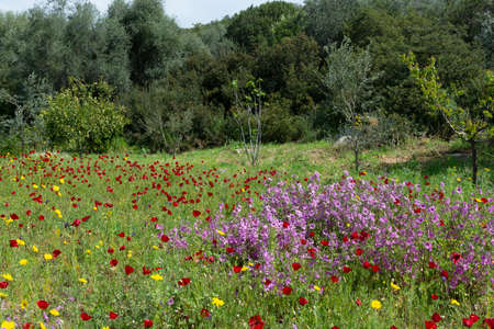 Spring colorful floral background, meadow with blossoming of wild and red poppy flowers, Peloponnese in april, Greece