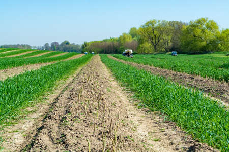 Harvesting of green asparagus on field with rows of ripe organic asparagus vegetables, farming in Belgium, landscape photo