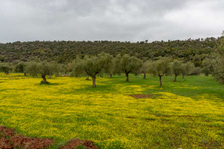 Countryside landscape with olive trees grove in spring season with colorful blossom of wild yellow flowers