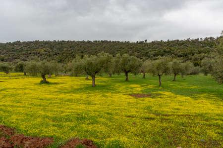 Paysage de campagne avec des oliviers au printemps avec des fleurs colorées de fleurs jaunes sauvages
