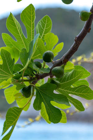 Unripe green figs fruits riping on fig tree close up