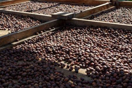 Traditionelle Methode zum Trocknen von reifen Bio-Kaffeebohnen auf offenem Gitter draußen im Sonnenlicht, Bio-Kaffeefarm Standard-Bild