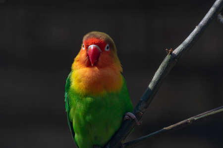 Colorful Fichers lovebird from Tanzania, Africa close up