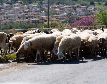 Driving car on roads of Peloponnese, flock of sheeps cross road in Greece, vacation and tourist destination Stock Photo