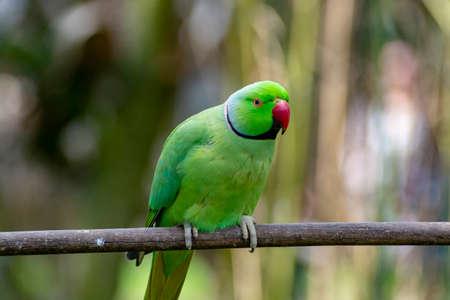 Periquito alejandrino verde, que vive en la región asiática, cerrar Foto de archivo