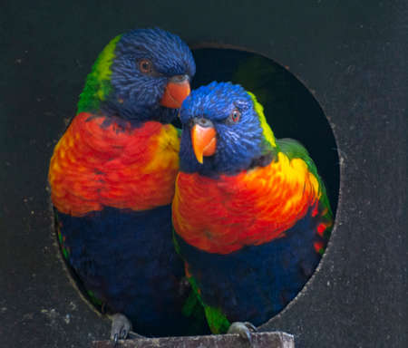 Two Blue mountain lorikeets sitting in nest, close up 写真素材